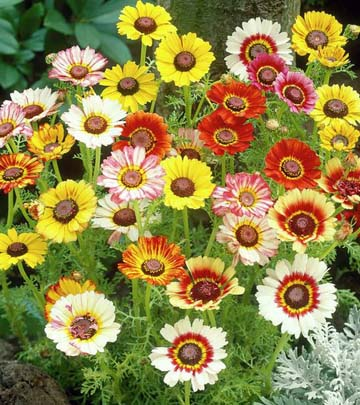 Bunga krisan carinatum