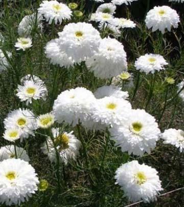 Bunga krisan inodorum