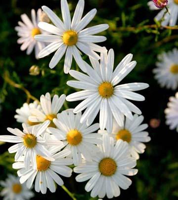 Bunga krisan maximum