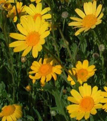 Bunga krisan segetum