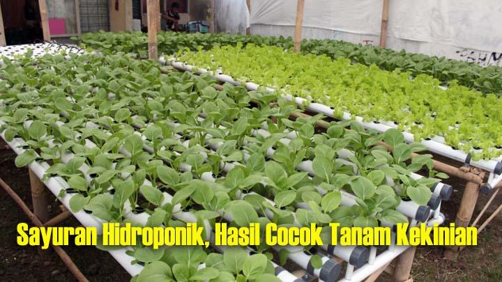 Koropak.co.id - Anggota Dewan Dampingi Petani Milenial Berinovasi, Kembangkan Sayuran Hidroponik