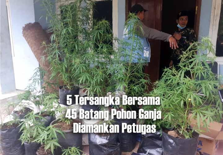Koropak.co.id - BNN Bongkar Kasus Ladang Ganja, Lima Tersangka Diamankan Petugas