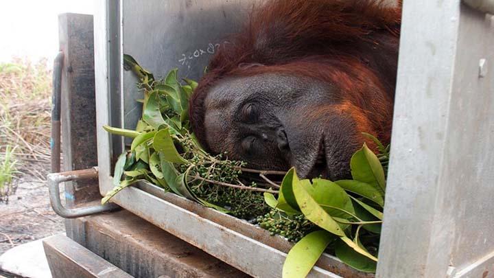 Koropak.co.id - Dampak Kebakaran Hutan, Beberapa Orangutan Terkena ISPA