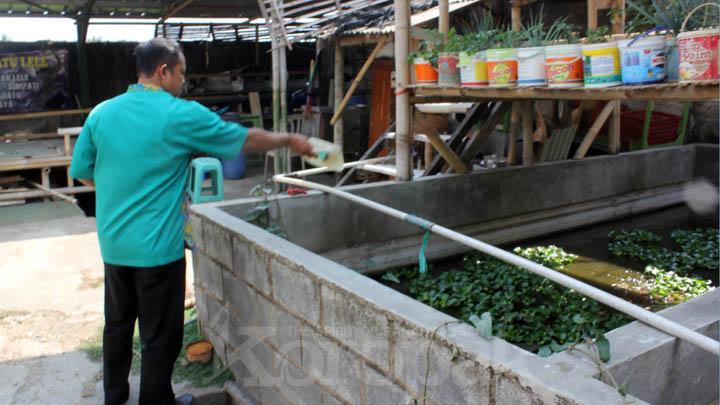 Koropak.co.id - Harga Jual Rendah Buat Peternak Lele di Tasikmalaya Merugi (2)