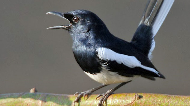 Koropak.co.id - Kacer Sering Jadi Pilihan Pecinta Burung (2)