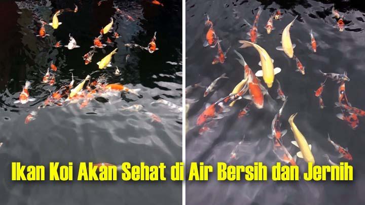 Koropak.co.id - Kunci Sukses Pelihara Ikan Koi  Jaga Kualitas Air (1)