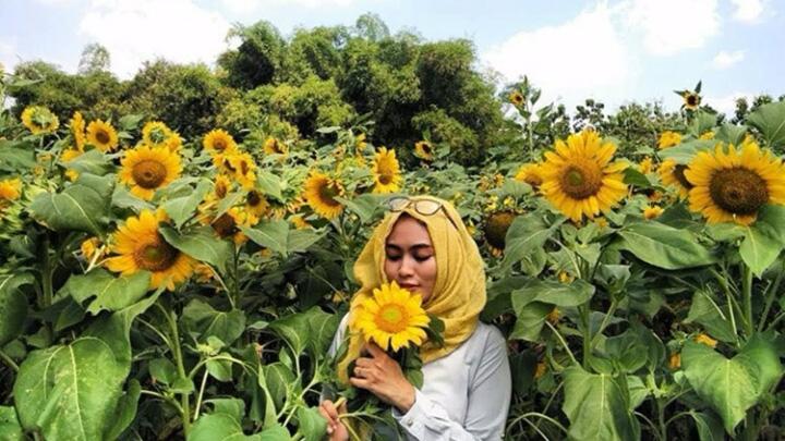 Koropak.co.id - Taman Bunga Matahari di Tangerang Ini Mendadak Viral 2