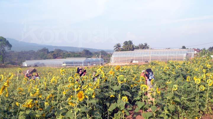 Taman Bunga Matahari, Spot Baru di Taman Wisata Karang Resik
