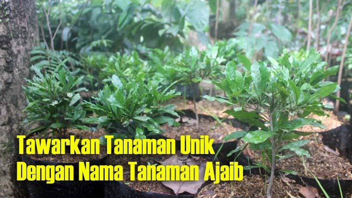 Koropak.co.id - Temukan Bibit Tanaman Berkualitas Hanya di Nusa Indah Tasikmalaya (2)