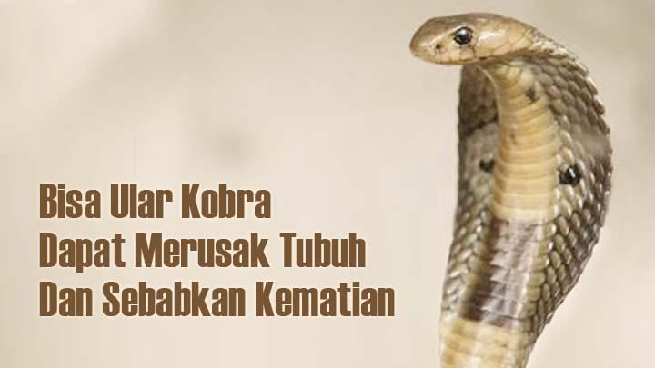 Koropak.co.id - Teror Anak Ular Kobra di Sejumlah Daerah Buat Warga Resah (2)